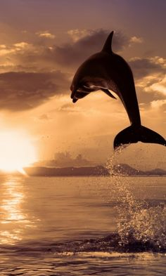Dolphin at sunset. Love!
