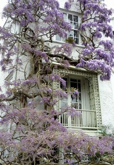 Sion Cottage: Sion Road ~ Twickenham Iron work trellis around a window, on an unusual little Grade II* listed cottage. Covered in wisteria it looks and smells so beautiful.