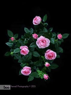 Wallpaper flores vintage pink roses Ideas for 2019 Beautiful Flowers Pictures, Beautiful Flowers Wallpapers, Beautiful Rose Flowers, Love Rose, Flower Pictures, Amazing Flowers, Flower Phone Wallpaper, Flower Wallpaper, Still Life Flowers
