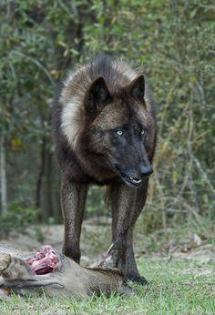 Wolf Standing Over a Fresh Kill. Wolf Photos, Wolf Pictures, Wolf Spirit, Spirit Animal, Beautiful Wolves, Animals Beautiful, Animals And Pets, Cute Animals, Wolf Hybrid