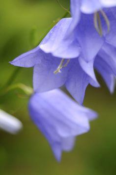Stor blåklocka, Campanula persicifolia