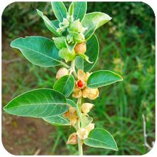 Ashwagandha Plant with free Pot and a packet of manure Ayurvedic Plants, Cherry Flower, Herbs For Health, House Plants Decor, Drought Tolerant Plants, Organic Fertilizer, Organic Plants, Farm Gardens, Red Berries