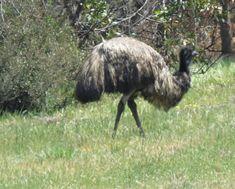 Bird Photos, Birding Sites, Bird Information: EMU, LARA, VICTORIA, AUSTRALIA