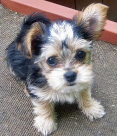 12 Best Yorkie Chihuahua Mix Images Cute Puppies Cute Baby Dogs