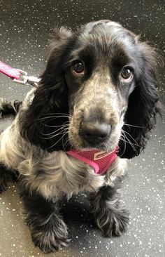 English Cocker Spaniel Puppies, Blue Roan Cocker Spaniel, English Spaniel, Andalusian Horse, Friesian Horse, Arabian Horses, Cockerspaniel, Super Cute Animals, Cute Dogs And Puppies