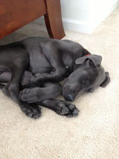 I really not going to take up that much space but I will steal your heart. Our GD sleeps like this too #greatdanepuppies