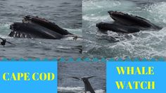 Hyannis Cape Cod Whale Watch Cruise ~ to Provincetown ~ Humpback Whales