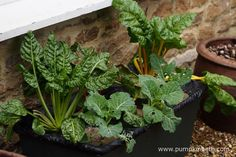 Here's my Earthbox as pictured on the 21st February 2016.  As you can see the vegetables have been growing well.  I haven't had to water this container since I set it up, I haven't carried out any maintenance of any kind, I just left the vegetables to grow.  I have harvested some of the stems and leaves from the chard, but other than that, the vegetables have been left to grow.