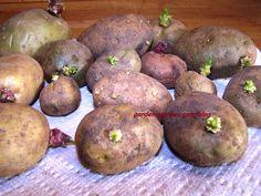starting potatoes indoors #potatoes #gardening