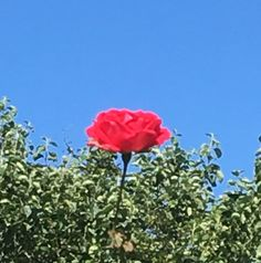 Single red rose on a hot summer's day (from my garden) Single Red Rose, Summer Days, Red Roses, Hot, Garden, Plants, Garten, Lawn And Garden, Gardens