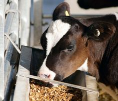 Best Bottle Calf Recipe To Treat Scours Animals Cattle