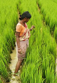 Woman farming rice field in Southern India.