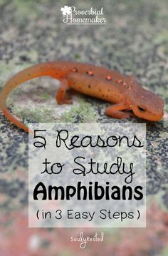 Study amphibians for a fun and memorable homeschooling activity! Here are a few easy steps to get you started. Science Activities For Kids, Animal Activities, Teaching Science, Learning Activities, Science Ideas, Animal Science, Life Science, Montessori Science, Preschool
