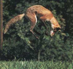 fox fox fox fox