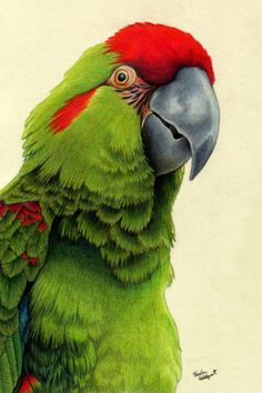 Color Pencil Drawing Ideas Red-Fronted Macaw by xfkirsten on deviantART -