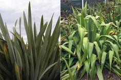 New Zealand flax species. Harekeke