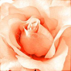 Rose Photograph, Garden Photography, Peach Flower, Orange Print, Romantic Art, Nature Photography, Peach Art, Modern Macro Art, Minimalism