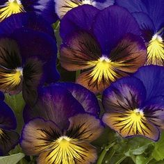 Pansy, Karma Blue Butterfly - Garden Seeds - Annual Flower Seeds