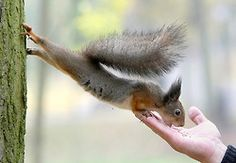 theanimalblog:    Minsk, Belarus: a squirrel stretches to eat a nut from a man's hand in a park.  Photograph: Tatyana Zenkovich/EPA
