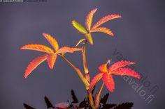 Kurjenjalka - kurjenjalka lehdet Comarum palustre värikkäät värikäs ruska ruska-aina syksy kasvi kasvit kosteikko allikko kosteikkokasvi Kuusamo