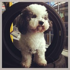 Oreo and I at kal tire in Vancouver BC. I decided I will put him in a tire and take a picture. He should be a mascot for kal tire. Pet Memorial Gifts, Cat Tags, King Of The World, Collar And Leash, Pet Memorials, Oreo, Pets, Vancouver, Pictures