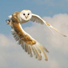 Barn Owl acrobatics