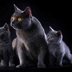 certosino, my  fav kitty cat