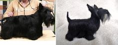Custom needle felted dog - scottish terrier - schnauzer - made to order - custom pet portrait - memorial sculpture by Inkarno on Etsy