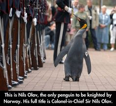 Colonel Penguin- Why did Norway knight a penguin? 'Cause Norway is AWESOME