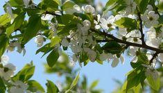 Conform reputatului profesor Ovidiu Bojor, frunzele de prun au efecte laxative si diuretice remarcabile, la fel cum au si prunele. De asemenea, aceste frunze au si puternice proprietati purgative, febrifuge, si vermifuge.