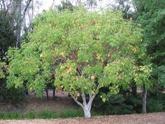 California Buckeye Drought Tolerant Height: 10 - 25 feet Canopy Width: 20 - 30 feet Growth Rate: 24 Inches per Season