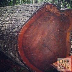 200 persone sono state arrestate e circa 50mila metri cubi di legname - pari al carico di duemila camion - sono stati sequestrati nel corso della prima operazione dell'Interpol contro il traffico illegale in America Latina. Scopri di più:http://lifeg.at/15dXFDg