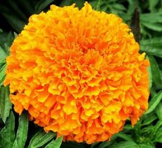 Bibit Benih Bunga African Marigold