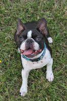 smile Boston Terriers, Smile, Dogs, Animals, Animales, Animaux, Boston Terrier, Pet Dogs, Doggies