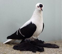 Black White Barred Saxon Fairy Swallow
