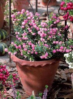 Gaultheria rose :   Période de plantation : de février à mai et de septembre à décembre.  Zone d'exposition : semi-ombre ; ensoleillé