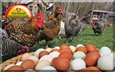 Hurricane Preparedness for Backyard Chickens. The Chicken Chick: Hurricane Preparedness for Backyard Chickens. Best Chicken Coop, Chicken Chick, Fresh Chicken, Building A Chicken Coop, Chicken Eggs, Chicken Coops, Chicken Houses, Farm Chicken, Chicken Ideas