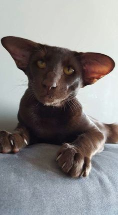 Chocolate colored Oriental Kitteh