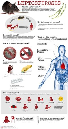 Leptospirosis Infographics. Good teaching tool to explain the risks to clients. We see quite a few lepto cases every year at our clinic.