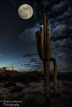 Moonlit Saguaro, Arizona. MY YARD AT NIGHT. NOT BIG. ONLY 3 ACRES SO FAR. BUT GORGEOUS.