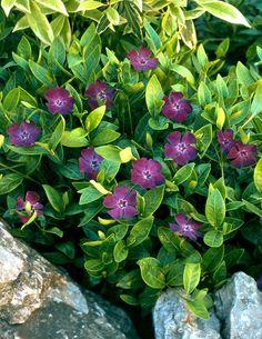 Pikkutalvio purppura - Viherpeukalot