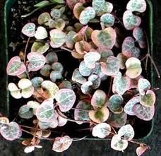 Ceropegia woodii - string of hearts plant, I NEED to find this plant!!!