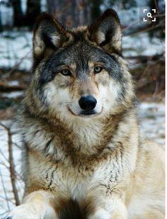 The wild wolf.