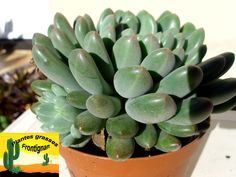 Pachyveria Mrs. Coombes