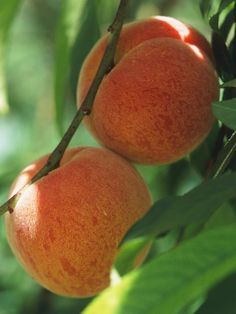Peaches - Container Gardening: 9 Fruit Plants for Pots on HGTV