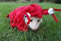 A friend of mine got a lobster costume for her possum Baby Animals, Funny Animals, Cute Animals, Opossum, My Animal, Funny Cute, Memes, Mammals, Cute Pictures