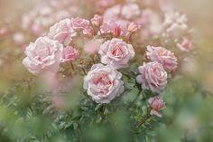 """The """"Catherine"""" Rose by Jacky Parker"""
