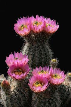 Cactus and Succulents 356 Unusual Flowers, Unusual Plants, Exotic Plants, All Flowers, Flowers Nature, Amazing Flowers, Cacti And Succulents, Planting Succulents, Planting Flowers