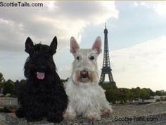 Scottish Terrier - Scottish Terrier and Dog News