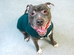 TO BE DESTROYED - 03/21/15 Manhattan Center. My name is BALOO. My Animal ID # is A1028315. I am a male gray pit bull mix. The shelter thinks I am about 2 YEARS old. For more information on adopting from the NYC AC&C, or to find a rescue to assist, please read the following: http://urgentpetsondeathrow.org/must-read/